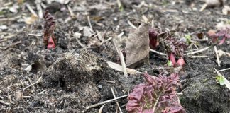 De rabarber komt al mooi met de kopjes boven het zand uit.