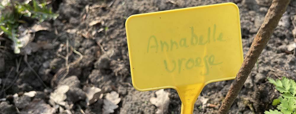 De vroege aardappel Annabelle heeft een sterke smaak, een beetje zoals die van een Roseval aardappel.