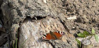 De dagpauwoog overwintert als vlinder en komt in het voorjaar als een van de eerste weer tevoorschijn. (Foto Erik van Huizen)