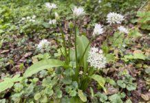 De bloemetjes van de daslook kan je gebruiken om een gerecht mooi af te maken. (Foto Erik van Huizen)