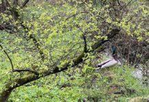 Meneer eend is in onze moestuin op zoek naar zijn vrouwtje.