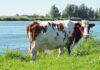 Een koe 'produceert' nu een record hoeveelheid melk van 9.200 kilo per jaar. (Foto A. Beijeman via Pixabay)