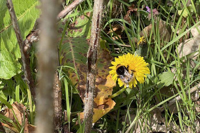 Paardenbloemen kan je het beste zoveel mogelijk laten staan. Goed voor de insecten. Wil je er toch niet teveel krijgen, knip dan na de bloei de zaadbollen weg. (Foto Erik van Huizen)