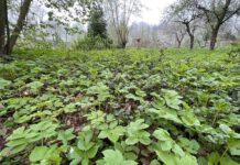 Zevenblad is geen onkruid, maar een erg gezonde plant. (Foto Erik van Huizen)