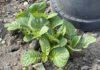 Een kleine 40% van alle in Nederland gebruikte gewasbeschermingsmiddelen is bestemd voor de aardappelteelt. Koop ze dus biologisch, of verbouw ze zelf. (Foto Erik van Huizen)
