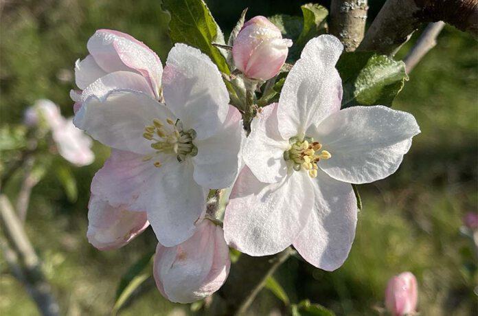Op de appelbloesem ligt de ochtenddauw te sprankelen. (Foto Erik van Huizen)
