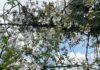 Ik weet niet precies waarom, maar ik moest aan yin en yang denken toen ik in onze moestuin deze kersenboom innig de appelboom zag omhelzen. (Foto Erik van Huizen)