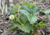 Niet biologische aardbeien worden vaak flink bespoten met gif. Eet ze dus biologisch. (Foto Erik van Huizen>