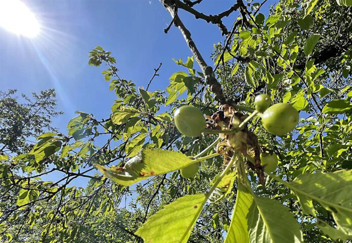 Niets lekkerder dan straks een handje kersen van eigen boom. (Foto Erik van Huizen)