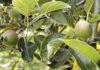 Aan onze appelbomen zitten al weer de eerste kleine appeltjes. (Foto Erik van Huizen)