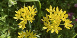 De Goudlook is een inheemse plant in het zuiden van Frankrijk en Spanje. (Foto EWrik van Huizen)