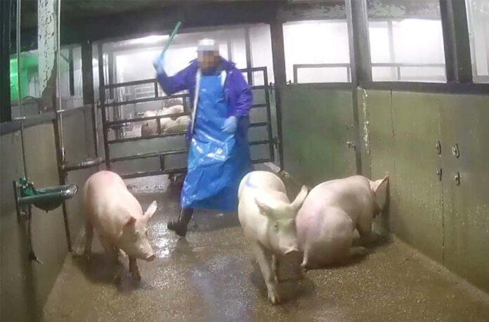 Het mishandelen van dieren behoort volgens Varkens in Nood in het slachthuis tot de alledaagse werkzaamheden. 'Het is een gevolg van een volledig verziekte en afgestompte bedrijfscultuur.' (Foto Varkens in Nood)