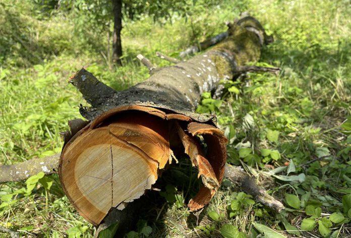 De kersenboom was bovenop de appelbomen gevallen. Uit vrees dat ook deze bomen verdere schade opliepen, heb ik de stam van de kersenboom snel van de appelbomen gehaald. (Foto Erik van Huizen)