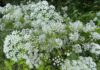 Zevenblad staat nu volop in bloei in onze moestuin. (Foto Erik van Huizen)