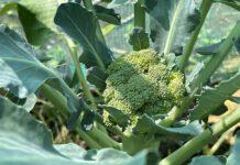De broccoliroosjes lijken op deze foto groter dan ze in werkelijkheid zijn. Ze moeten echt nog een beetje groeien. (Foto Erik van Huizen)