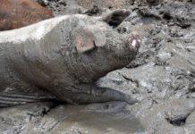 Varkens zijn gevoelige dieren. Niets kan rechtvaardigen dat ze op de een of andere manier worden mishandeld. Net als alle andere dieren. (Foto Tim McReynolds via Pixabay)