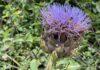 Bij ons de tuin staat de artisjok al in bloei. Ook de bijtjes hebben de paarse bloem al gevonden. (Foto Erik van Huizen)
