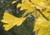 De blaadjes van de Ginkgo Biloba zijn altijd mooi, maar in de herfst zijn ook nog eens heel erg mooi geel. (Foto Erik van Huizen)