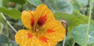 Van de Oost-Indische kers kan je lang bloemetjes blijven plukken. (Foto Erik van Huizen)