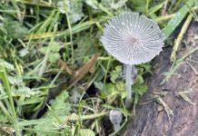 In onze moestuin zijn al weer verschillende mooie paddenstoelen op en langs de boomstammetjes te bewonderen. (Foto Erik van Huizen)