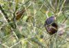 Slakken zitten in het algemeen vooral op de sappigste en zoetste planten. Inmiddels heeft de mens veel soorten groenten in de loop van de jaren zo veranderd dat deze groenten zich niet meer kunnen verdedigen tegen slakken. Wilde sla verdedigt zich bijvoorbeeld tegen de slak met bitterstoffen en stekels. Kom daar maar eens om bij de kropsla. (Foto Erik van Huizen)